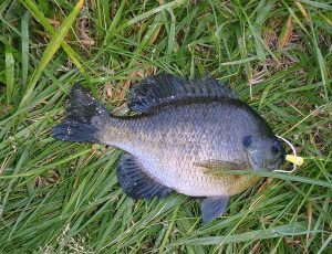 """Bluegiggle"" or Bluegill"