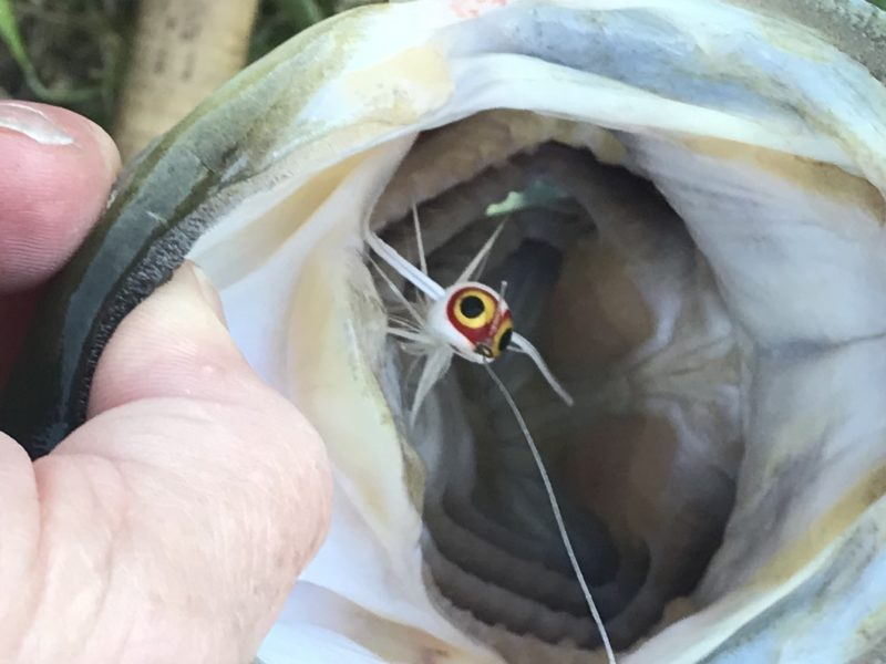 Mike Swederska caught this bass and several others using the Rollie Pollie seen in the photo
